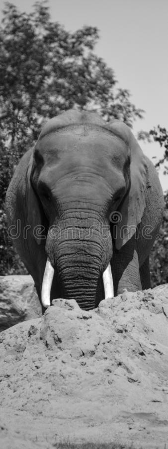Afrikanische Elefanten sind Elefanten der Klasse Loxodonta lizenzfreies stockfoto