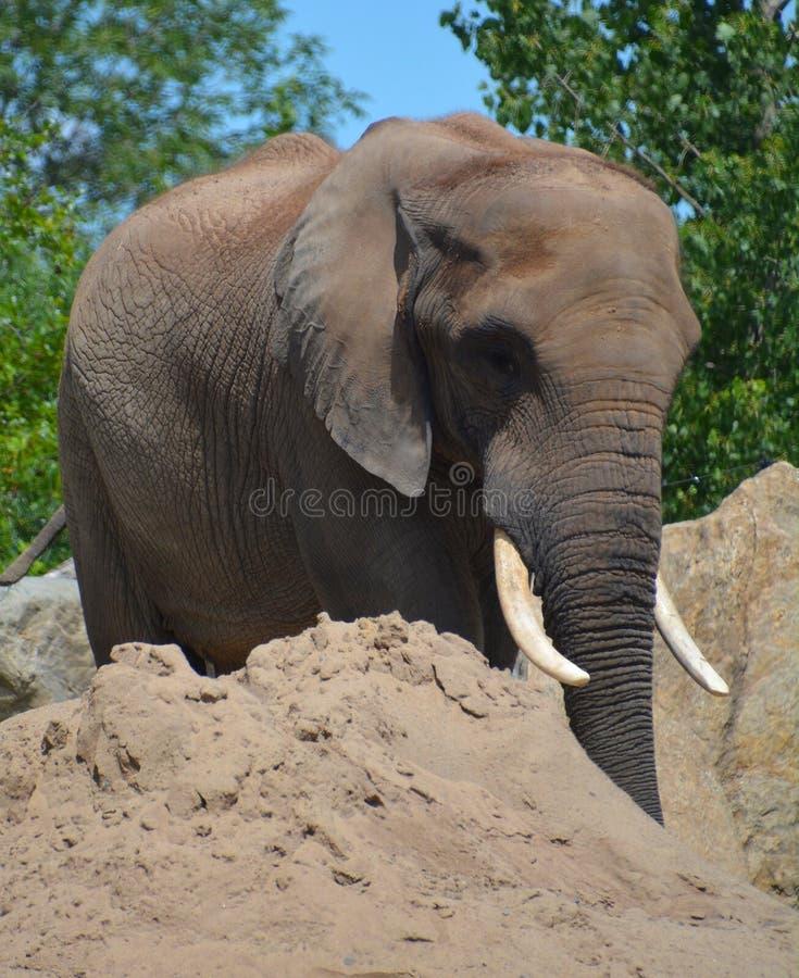Afrikanische Elefanten sind Elefanten der Klasse Loxodonta stockfoto