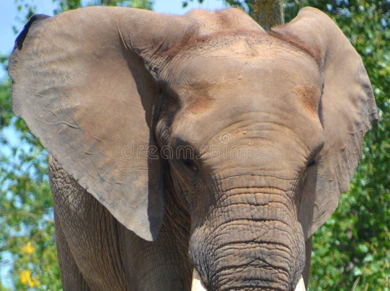 Afrikanische Elefanten sind Elefanten der Klasse Loxodonta stockfotografie