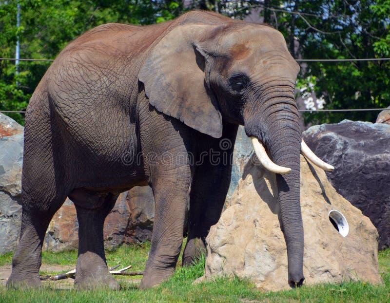 Afrikanische Elefanten sind Elefanten der Klasse Loxodonta lizenzfreies stockbild