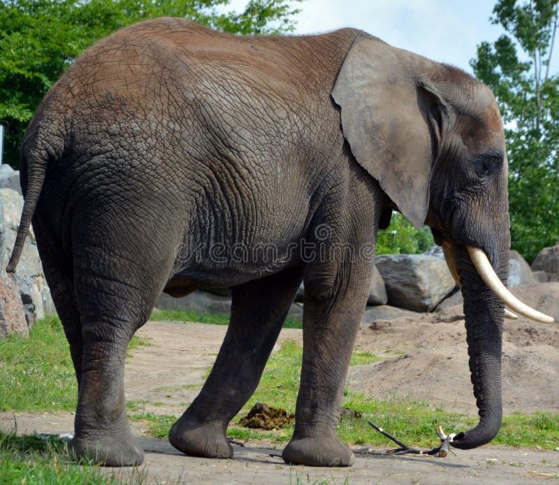 Afrikanische Elefanten sind Elefanten der Klasse Loxodonta lizenzfreie stockfotos