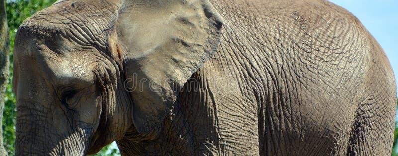 Afrikanische Elefanten sind Elefanten der Klasse Loxodonta stockbild