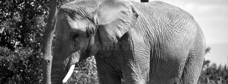 Afrikanische Elefanten sind Elefanten der Klasse Loxodonta stockbilder