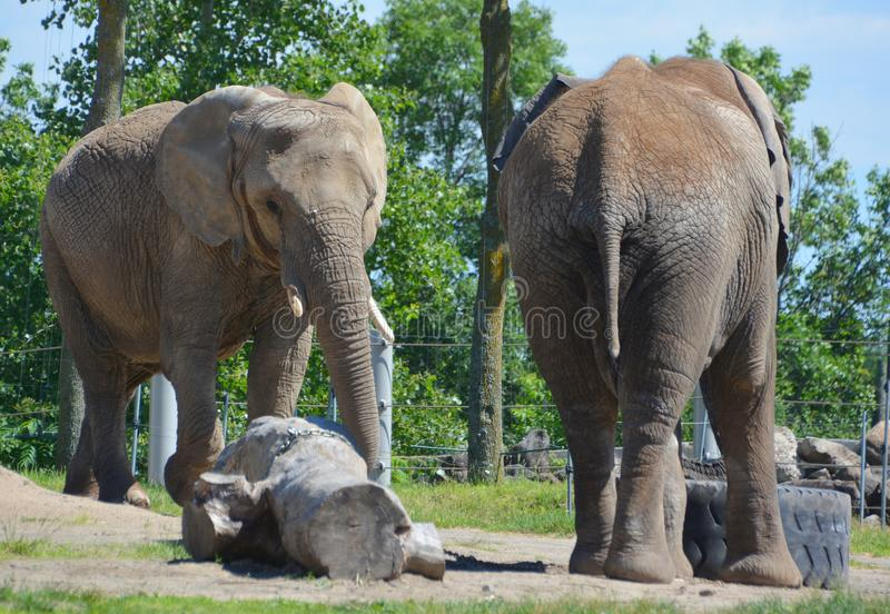 Afrikanische Elefanten sind Elefanten der Klasse Loxodonta lizenzfreie stockfotografie