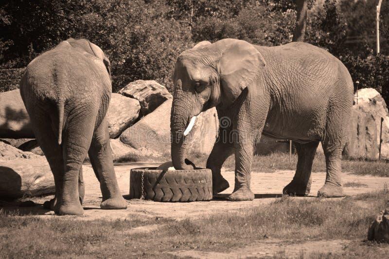 Afrikanische Elefanten sind Elefanten der Klasse Loxodonta stockfotos