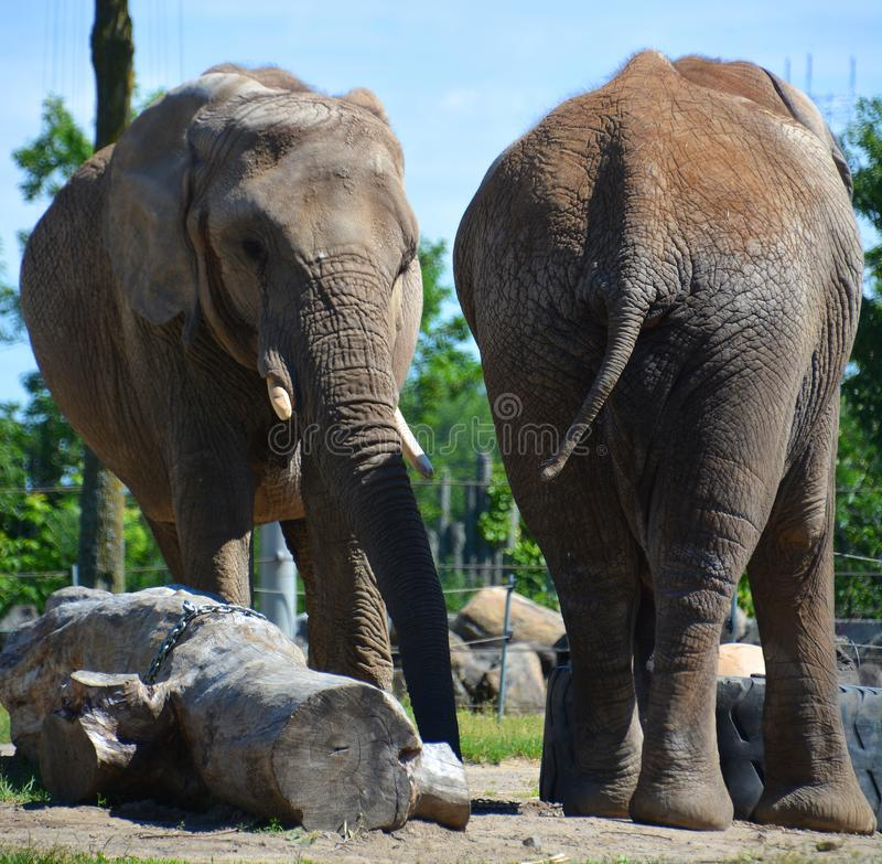 Afrikanische Elefanten sind Elefanten der Klasse Loxodonta lizenzfreie stockbilder