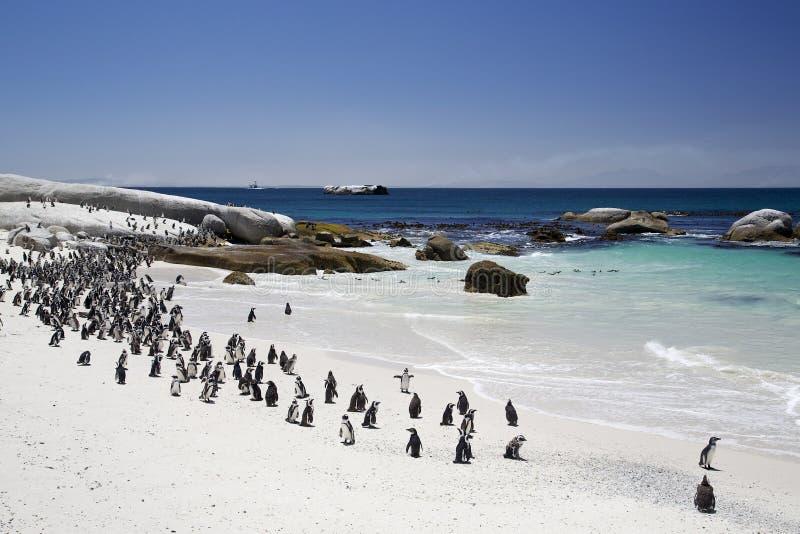 Afrikanische Esel-Pinguin-Kolonie durch den Strand stockbild