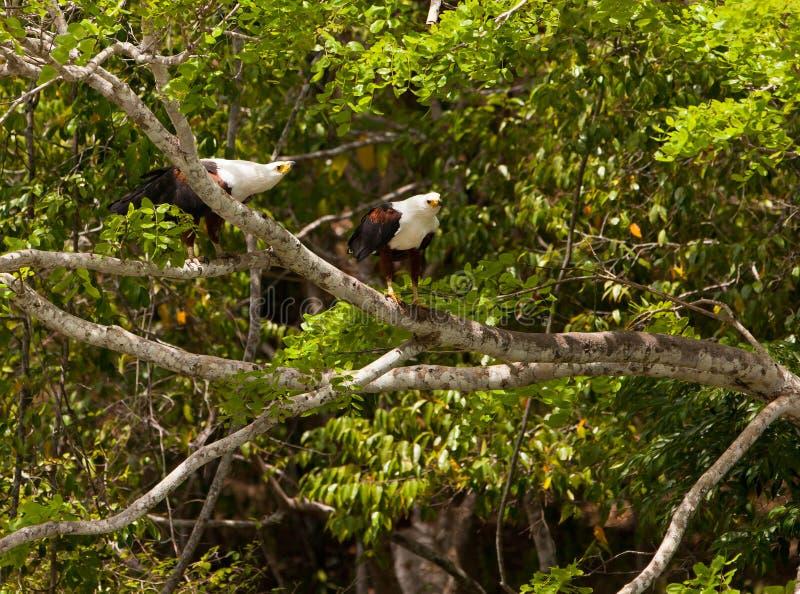 Afrikanische Fische Eagles der Paar-O lizenzfreie stockfotos