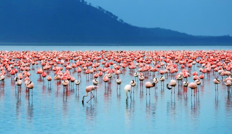 Afrikanische Flamingos stockfotografie