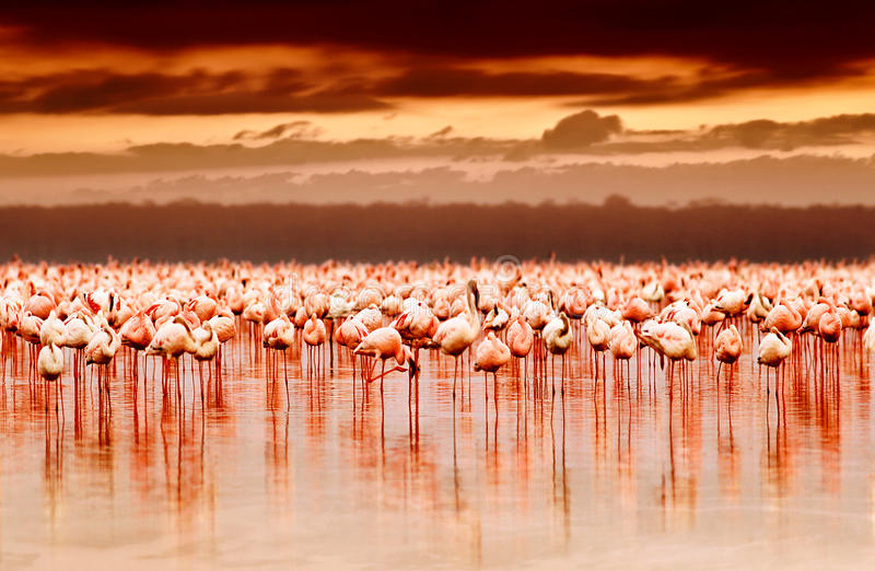 Afrikanische Flamingos auf Sonnenuntergang stockfotografie