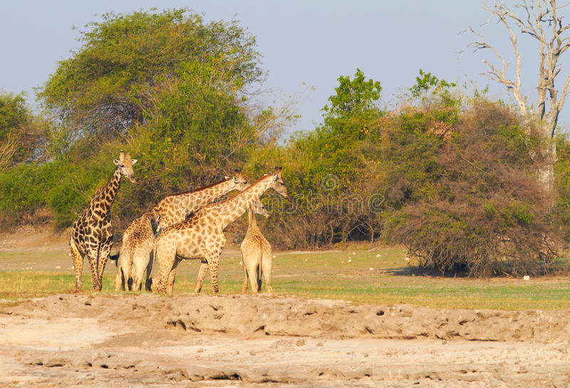 Afrikanische Giraffen stockfotografie
