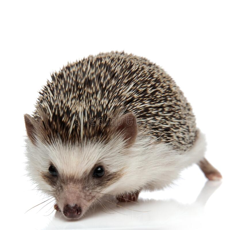 Afrikanische Hedgehog geht voraus und schnüffelt etwas lizenzfreies stockfoto