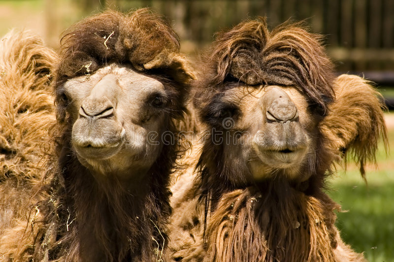 Afrikanische Kamele lizenzfreie stockbilder