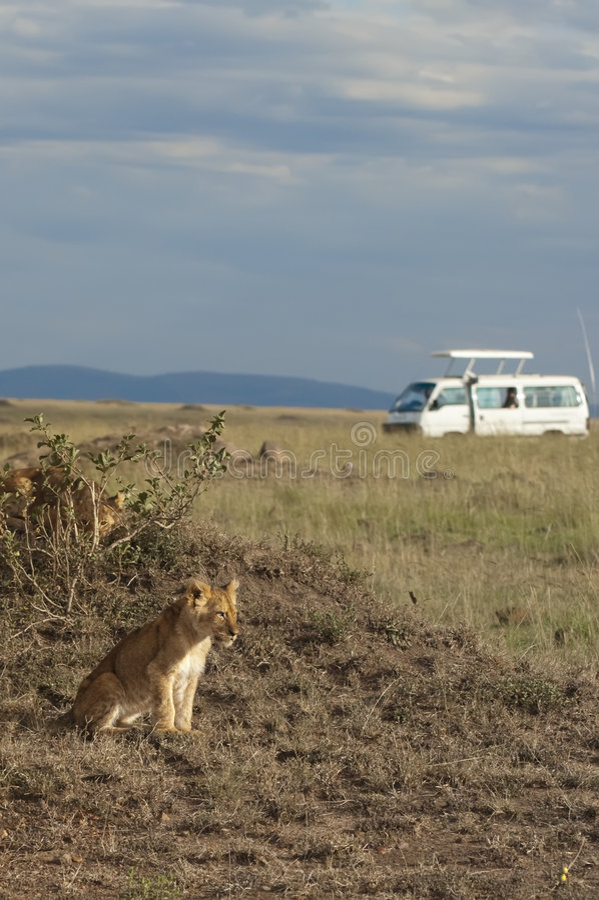 Afrikanische Löwejunge stockbild
