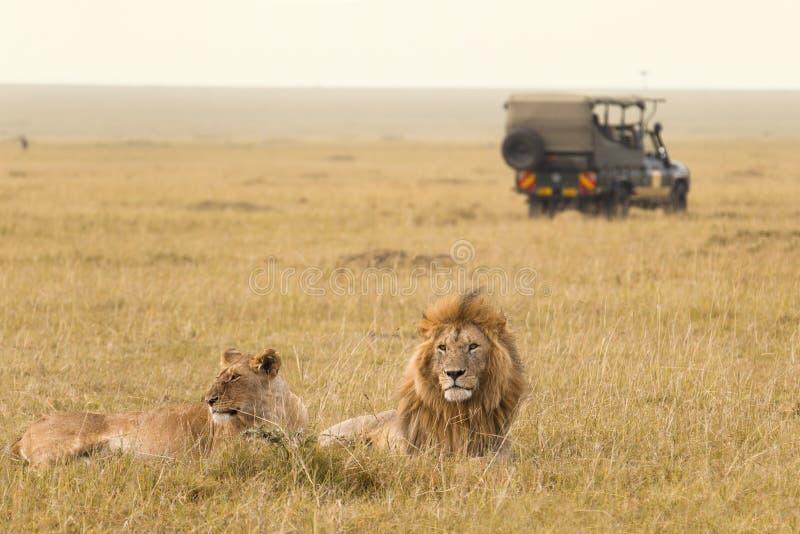Afrikanische Löwepaare und Safarijeep lizenzfreies stockbild