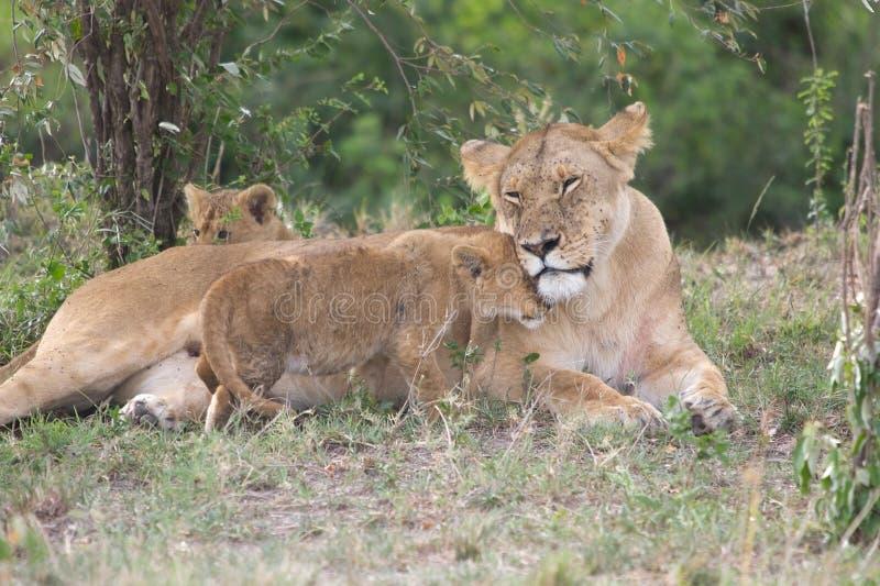 Afrikanische Löwin und Junge (Panthera Löwe) stockbild