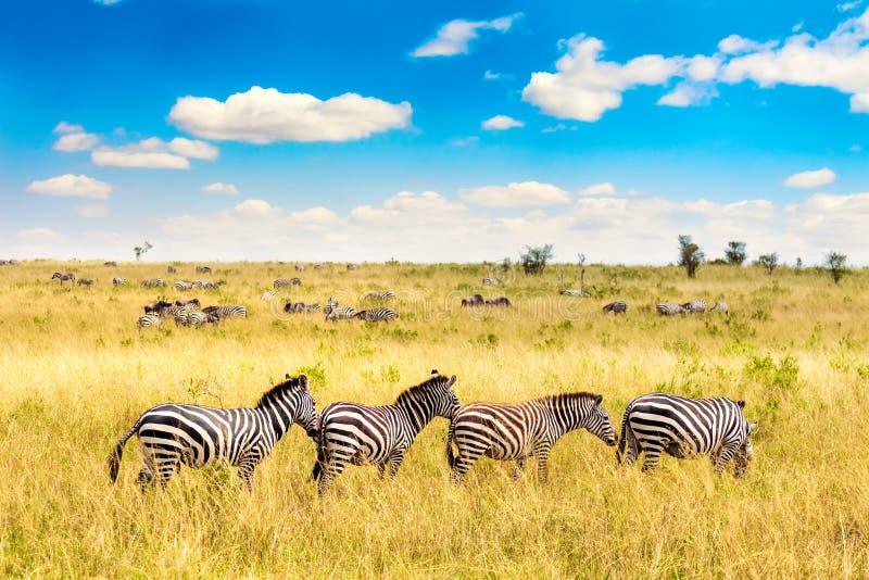 Afrikanische Landschaft Zebra in afrikanischer Savanne in Masai Mara Nationalpark Kenia, Afrika lizenzfreies stockbild