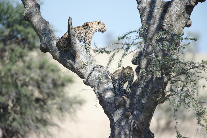 Afrikanische Leoparden lizenzfreie stockfotografie