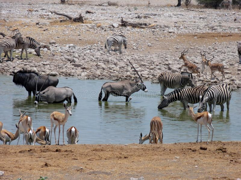 Afrikanische Oasen-wild lebende Tiere lizenzfreie stockbilder