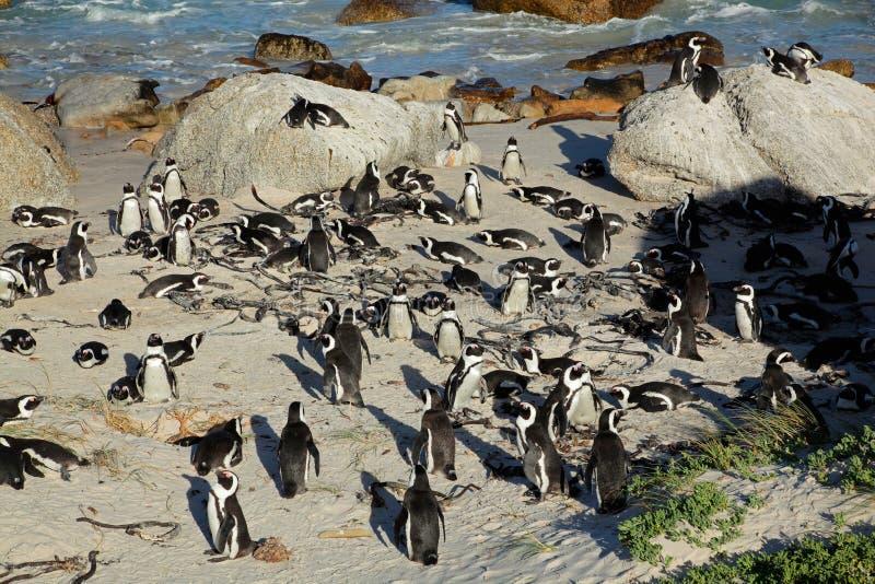 Download Afrikanische Pinguine stockfoto. Bild von penguin, kolonie - 27733696