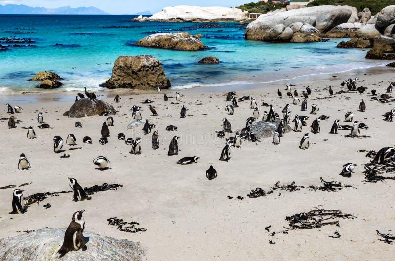 Afrikanische Pinguine oder Brillenpinguin - Spheniscus demersus - an den Flusssteinen setzen, Cape Town, Südafrika auf den Strand stockbilder