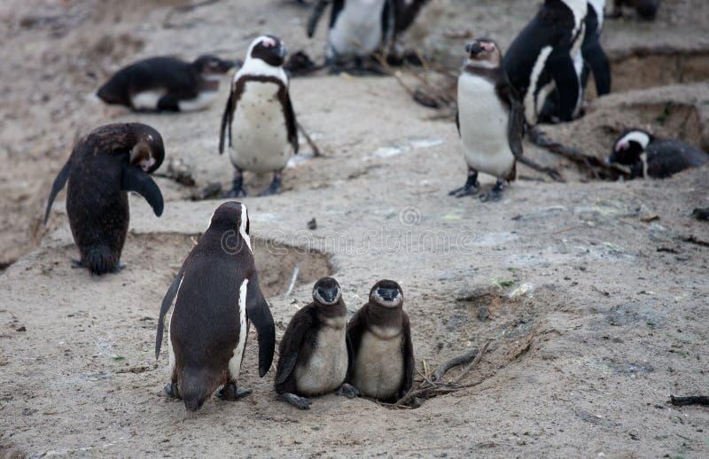 Afrikanische Pinguinfamilie: Mutter mit zwei neugeborenen Babys chickes Ansicht über Stadt und Tabellen-Berg vom seaa versehen mi stockbilder