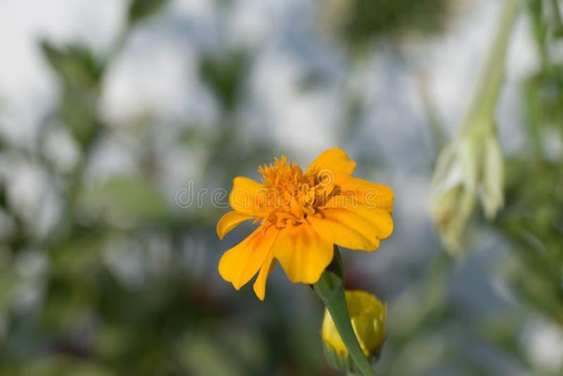 Afrikanische Ringelblume stockfoto