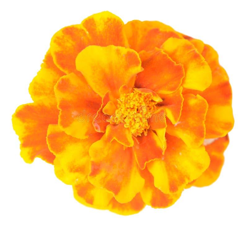 Afrikanische Ringelblume stockfotos