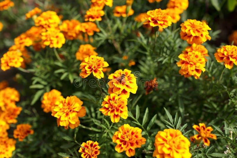 Afrikanische Ringelblume im Garten lizenzfreies stockfoto