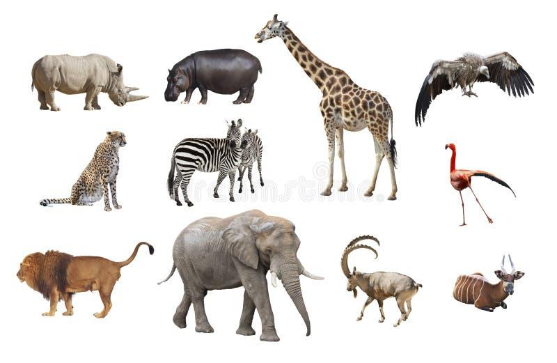 Afrikanische Tiere lokalisiert auf einem weißen Hintergrund lizenzfreies stockbild