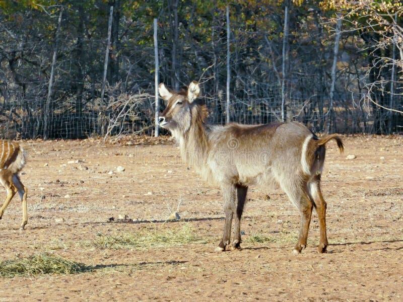 Afrikanische Waterbuck Antilope lizenzfreie stockfotos