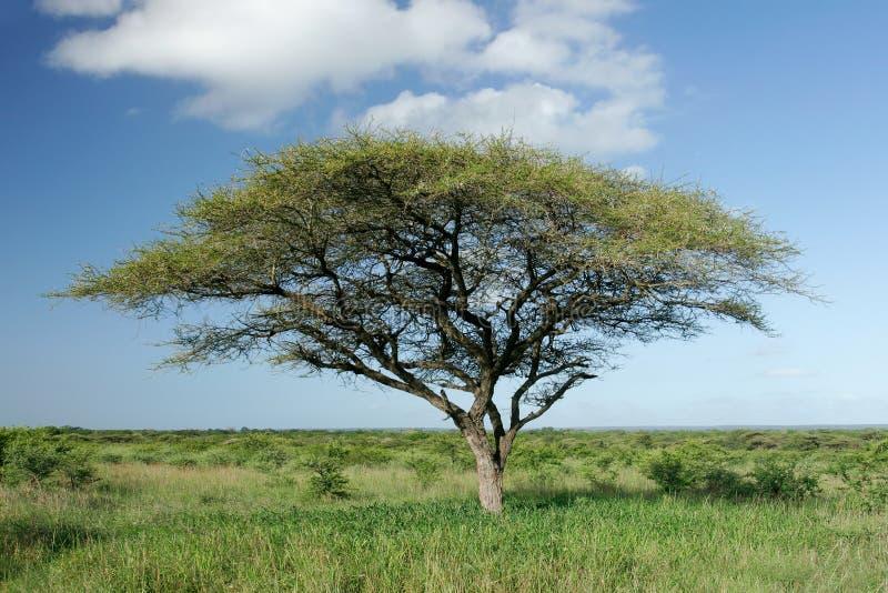 Afrikanischer Akazienbaum stockbilder