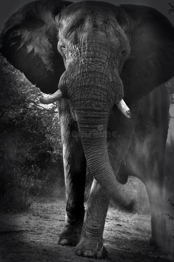 Afrikanischer aufladender Elefant - Simbabwe lizenzfreie stockfotografie