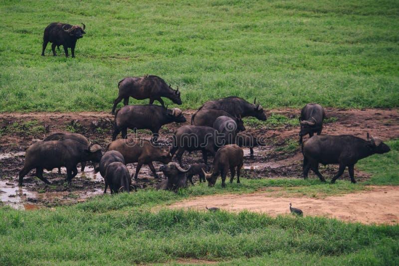 Afrikanischer Büffel bei Tsavo stockbild