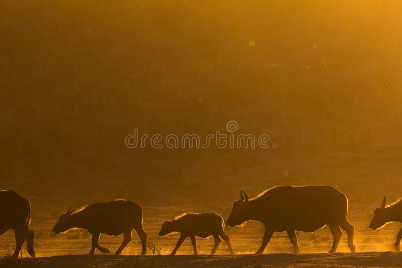 Afrikanischer Büffel, der in eine Linie bei Sonnenuntergang geht stockbild