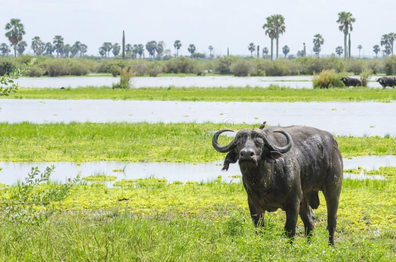 Afrikanischer Büffel Selous lizenzfreies stockbild