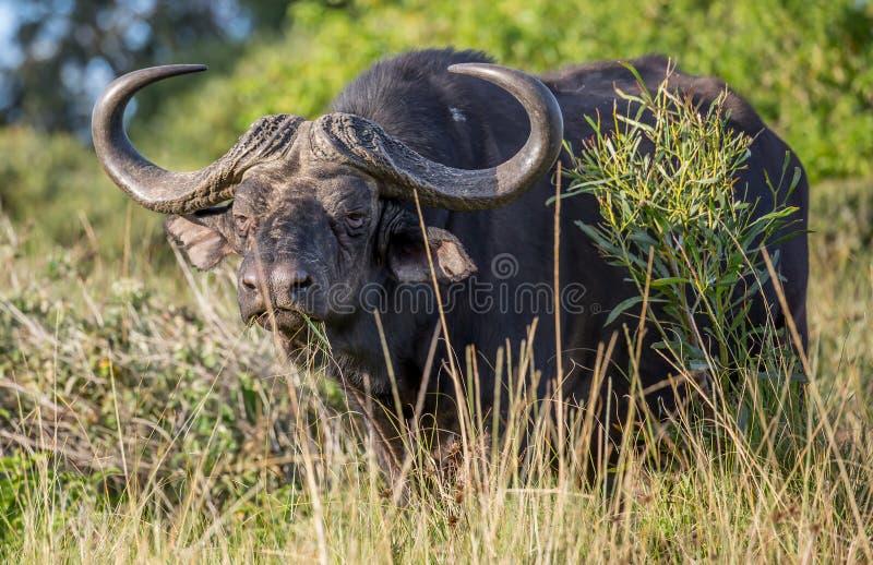 Afrikanischer Büffelmann mit großen gebogenen Hörnern lizenzfreie stockfotografie