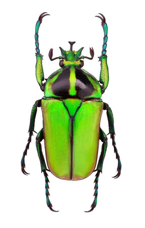 Afrikanischer Blumenkäfer Neptunides polychrous lizenzfreies stockfoto