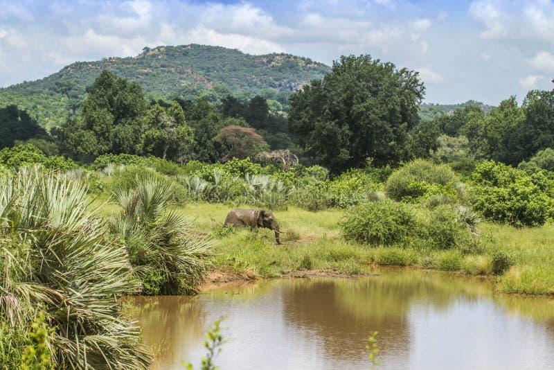 Afrikanischer Buschelefant in seinem Lebensraum in Nationalpark Kruger stockbild