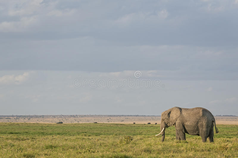 Afrikanischer Bush-Elefant stockfotos