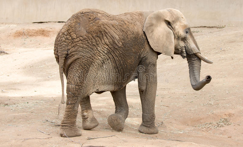 Afrikanischer Bush-Elefant (Loxodonta africana) stockfotos