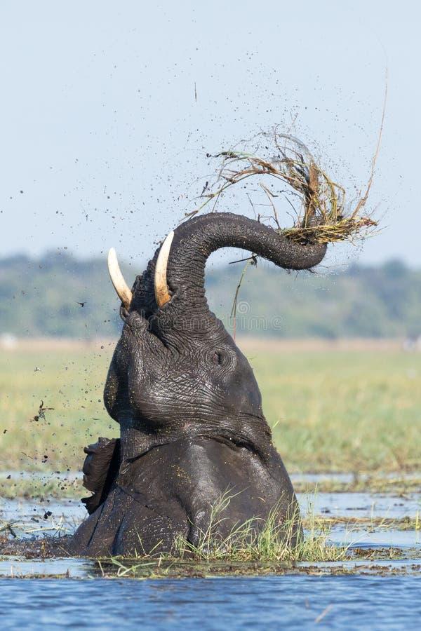 Afrikanischer einziehender Elefant, Chobe-Fluss, Botswana stockbilder