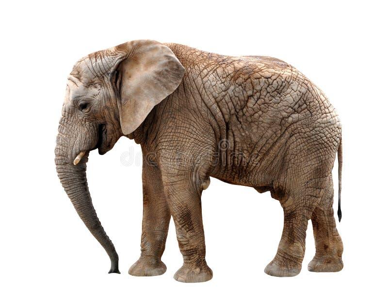 Afrikanischer Elefant stockfoto