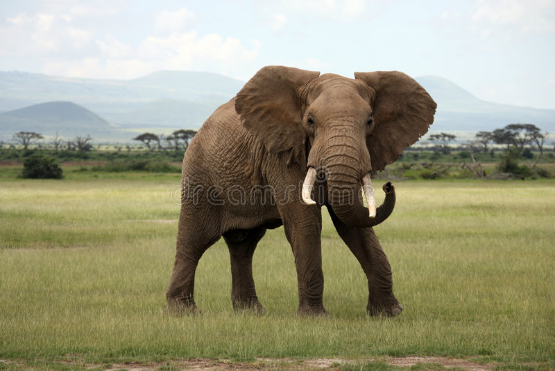 Afrikanischer Elefant Amboseli lizenzfreie stockbilder
