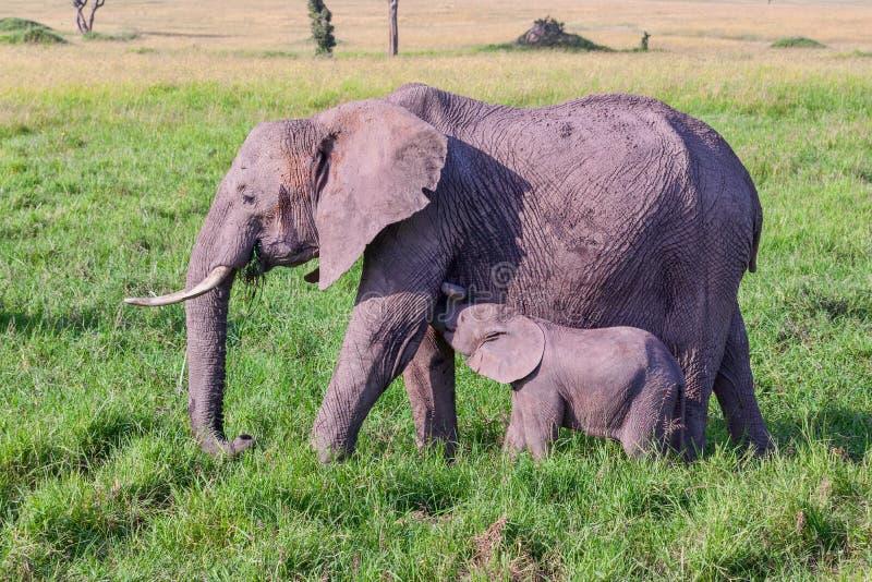 Afrikanischer Elefant-Baby-Säugling von der Mutter lizenzfreie stockbilder