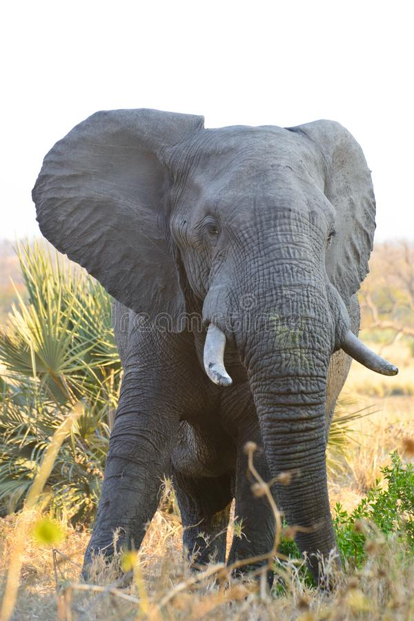 Afrikanischer Elefant Bull stockfotografie