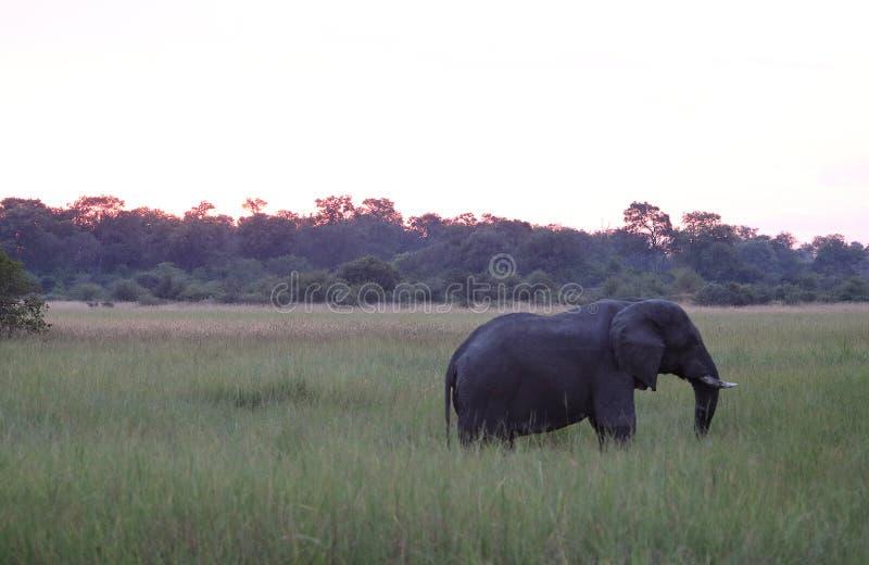 AFRIKANISCHER ELEFANT IN DER WIESE AN DER DÄMMERUNG lizenzfreies stockbild