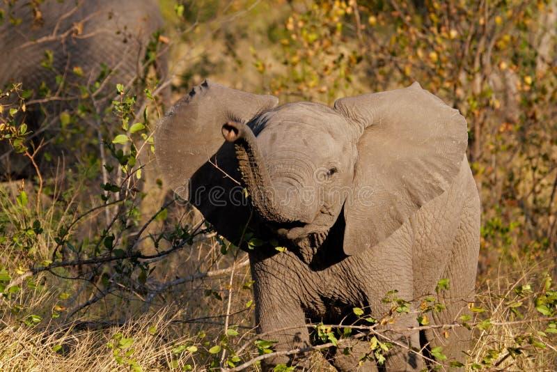 Afrikanischer Elefant des Schätzchens lizenzfreie stockfotografie