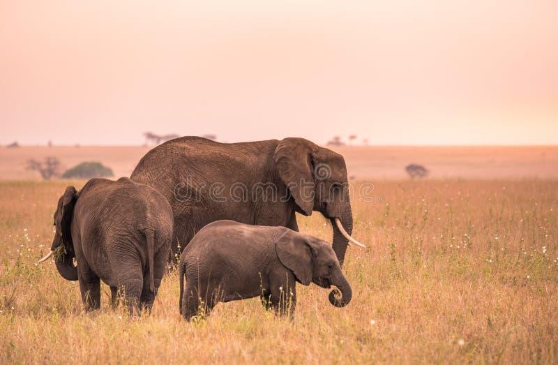 Afrikanischer Elefant-Familie mit jungem Baby Elefanten in der Savanne von Serengeti bei Sonnenuntergang Akazienb?ume auf den Ebe stockbild