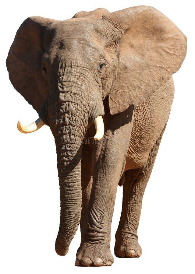 Afrikanischer Elefant getrennt stockbilder